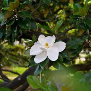 Southern_Magnolia-400_MAINIMAGE_grande